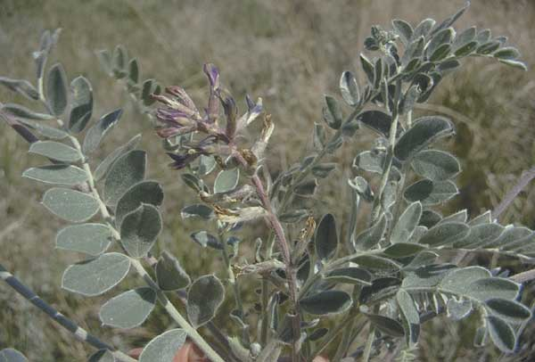 Wooly locoweed showing hairy leaves and purple flowers