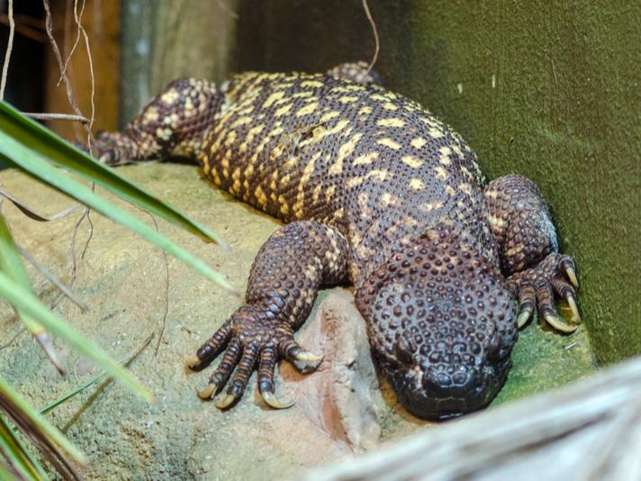 Image result for beaded lizards