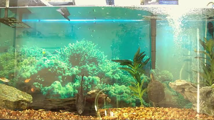 Image result for golden thread turtle tank