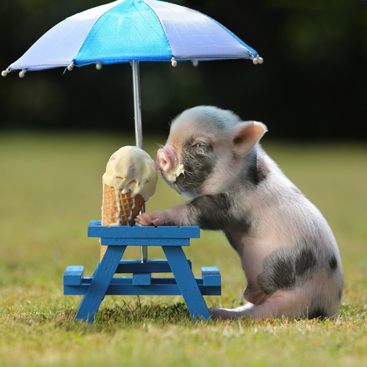 Little piggy eating ice cream,