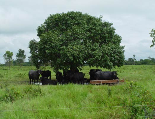 Buffaloes taking shelter under the tree during hot summer months.