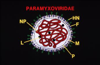 Cartoon of Paramyxovirus (distemper) illustrating major structural antigens.