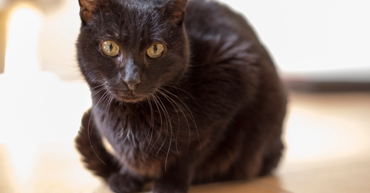 A black cat solid colored cat.  These cats may appear to be less common due to longstanding superstitutions.