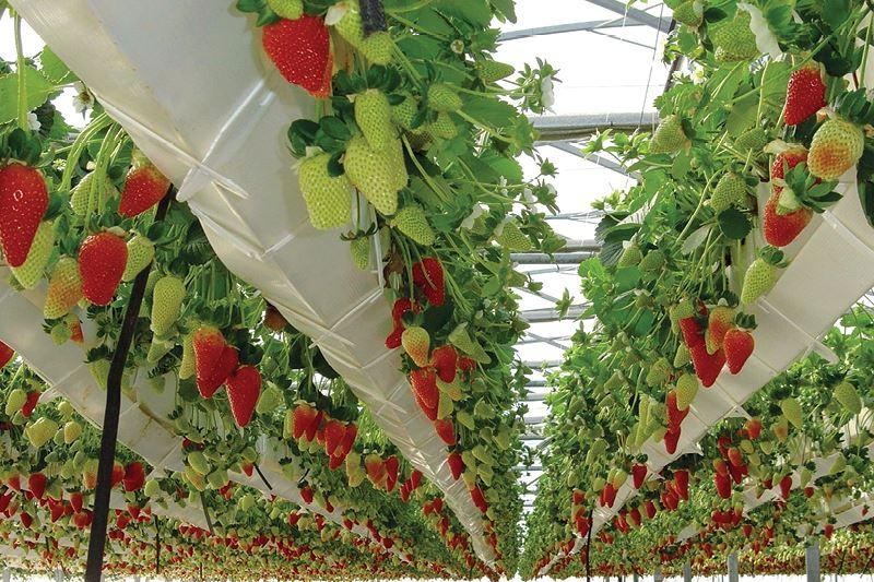 Strawberries here are grown by semi-hydroponic method - strawberry gardens in Da Lat