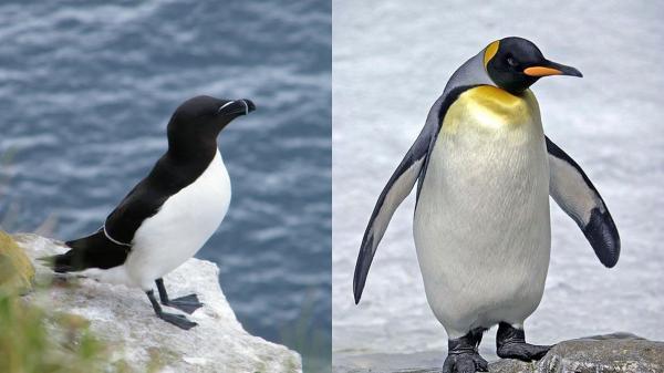 Pingouin / Manchot