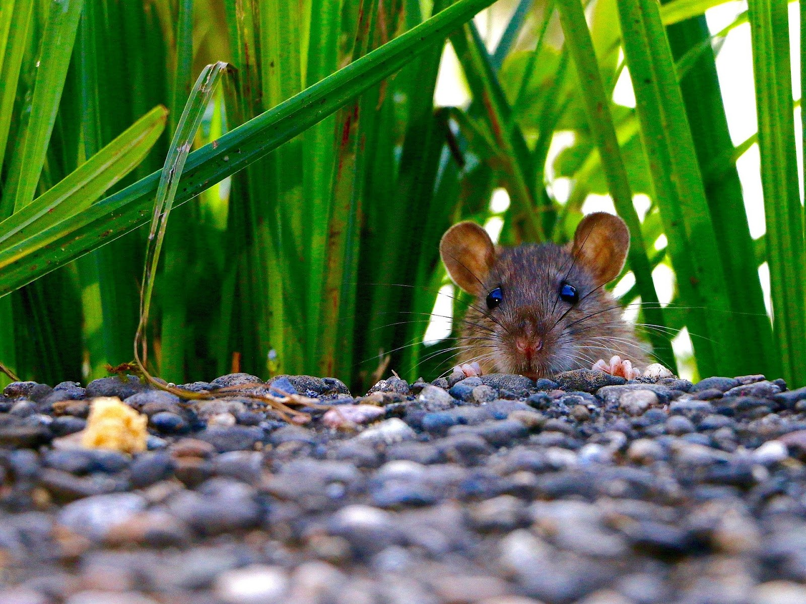 It's not clear as yet what a post-pandemic future will bring, but the implementation of exclusion tactics and bait stations can help decrease the rodent population in NYC neighborhoods.