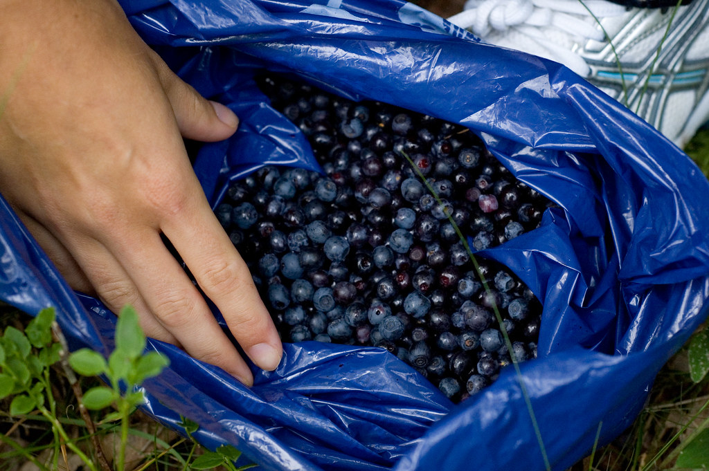 8. Pick your own wild blueberries