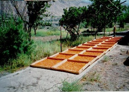 Apricot halves on solar drying trays