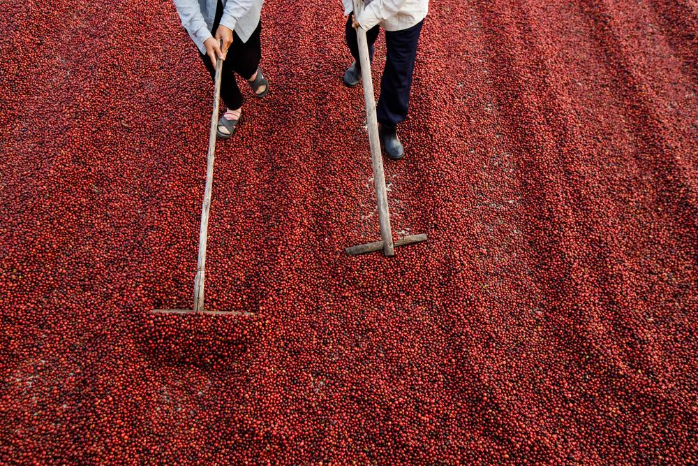 Apesar de estimativa de queda de produção de café, Brasil continuará sendo o principal produtor mundial. (Fonte: Shutterstock/freedomnaruk/Reprodução)