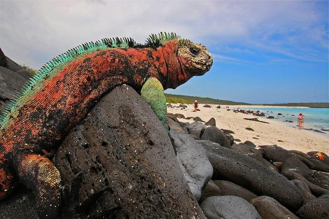 Image result for MARINE IGUANA NATURAL HABITAT