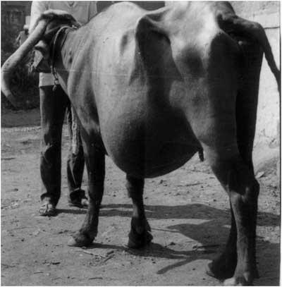 Hernia ventral izquierda en una búfala Nagpuri gestante (Foto cortesía de: Prof N.M. Markandeya, Parbhani Maharashtra, India).