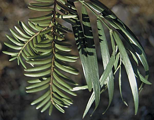 Yew (left) and Podocarpus (right) leaves