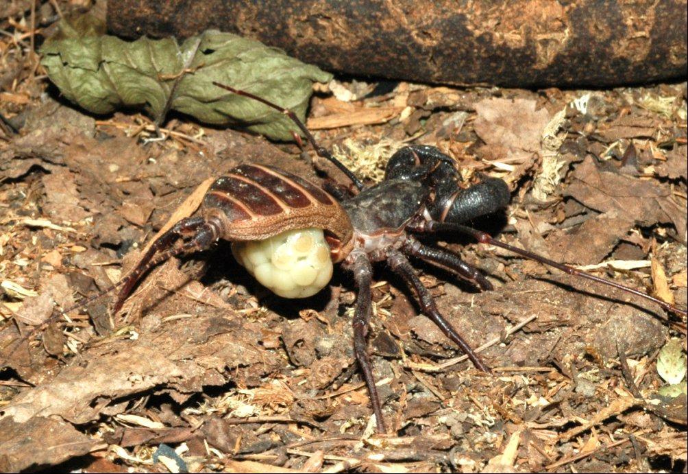鞭尾蝎雌性育卵囊