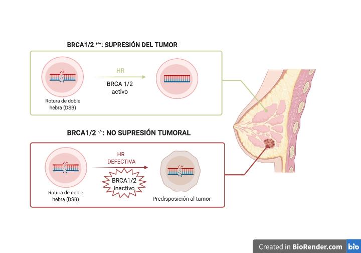 BRCA1 Y BRCA2: MUTACIONES Y CÁNCER