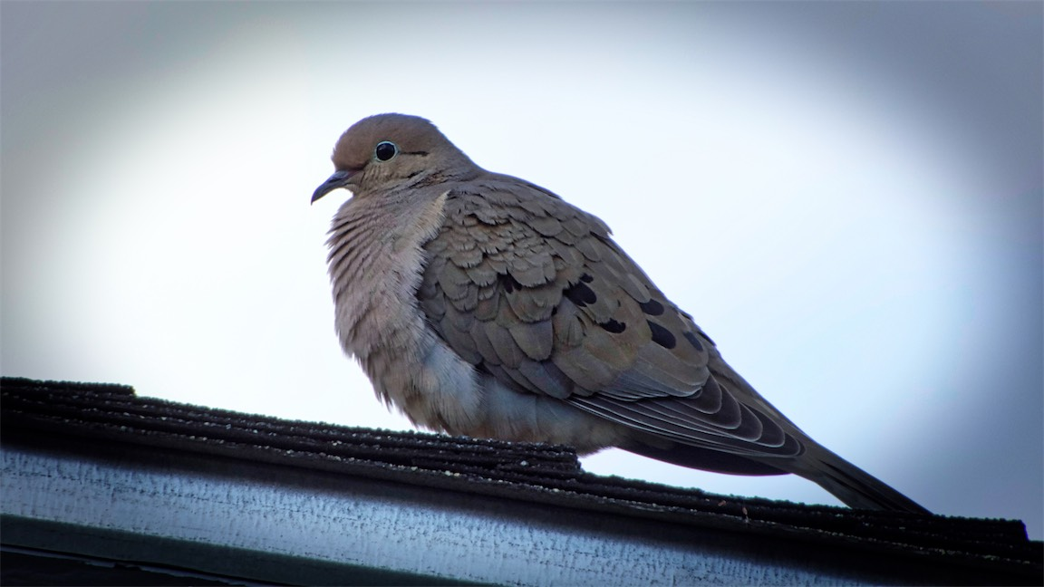 Dove From RW2.jpg
