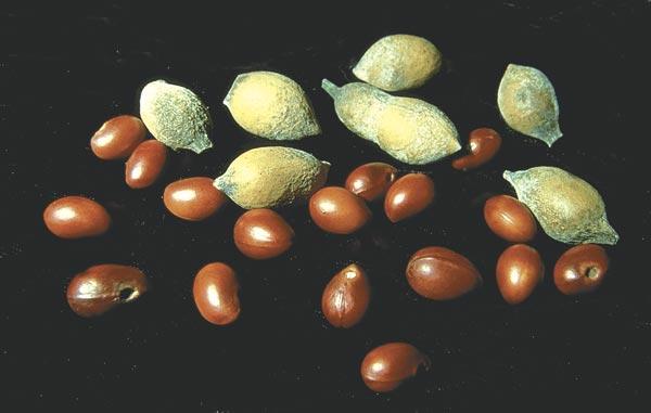 Mescal beans