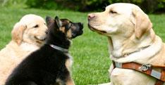 a photo of a Yellow Labrador in harness facing German shepherd and golden retriever puppies.