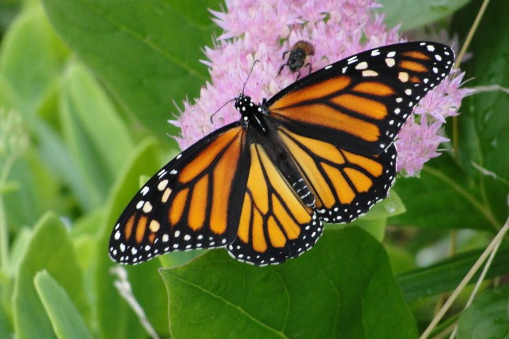 Monarch Butterfly Count