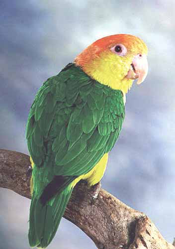 The white-bellied caique (Pionites leucogaster) may be threatened with extinction in the wild and should not be kept as a single pet