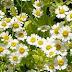 Hạt Giống Cúc Feverfew - Tanacetum parthenium