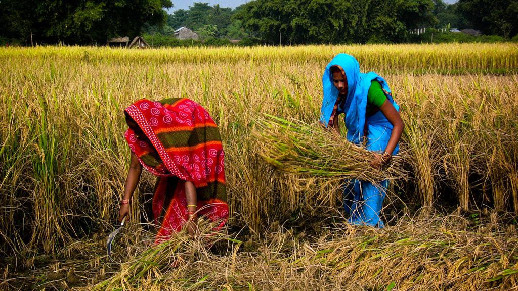 IRRI News: Farmer-buyer collaboration can help increase farm