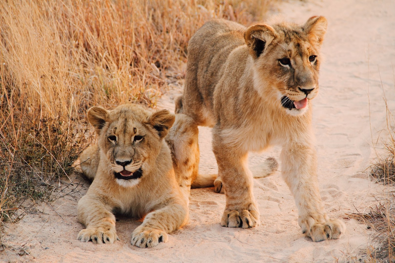 Lion Cubs at Lion Walk