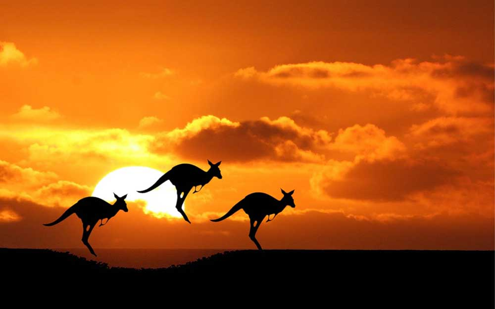 Image result for australia kangaroo