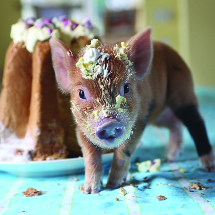 Piglet with a cream cake