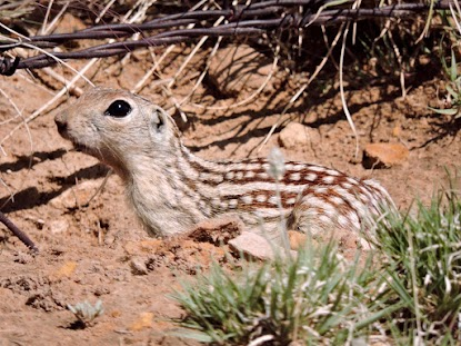 This thirteen-lined ground squirrel wants you to volunteer for SPLT!