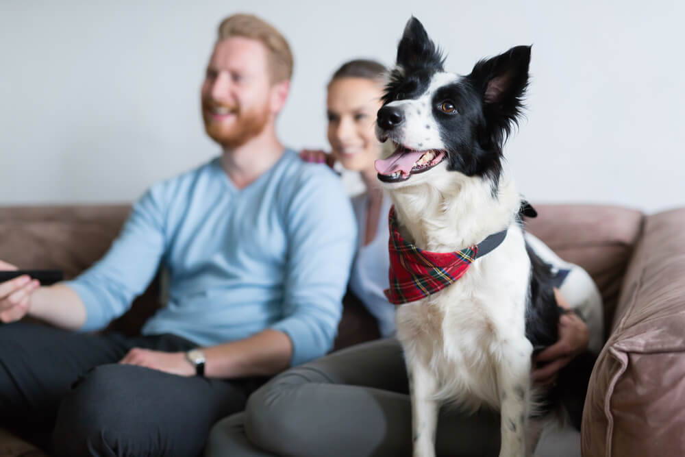 border collie sitting on the couch with owners