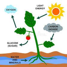 Photosynthesis. A cartoon illustration about the photosynthesis process ,  #ad, #cartoon, #P… | Photosynthesis, Plants science experiments,  Photosynthesis activities