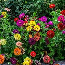 :zinnia state fair mix.jpg