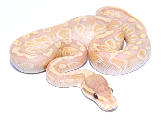 Lesser GHI Ultramel Ball Python by Morph Jungle - MorphMarket USA