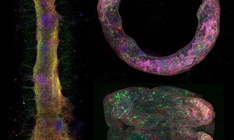 Three-Dimensional Model of Nerve Tissue
