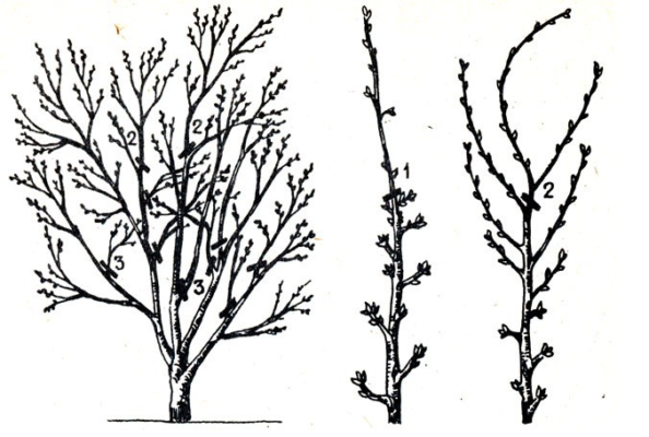 Схема обрезки ветвей