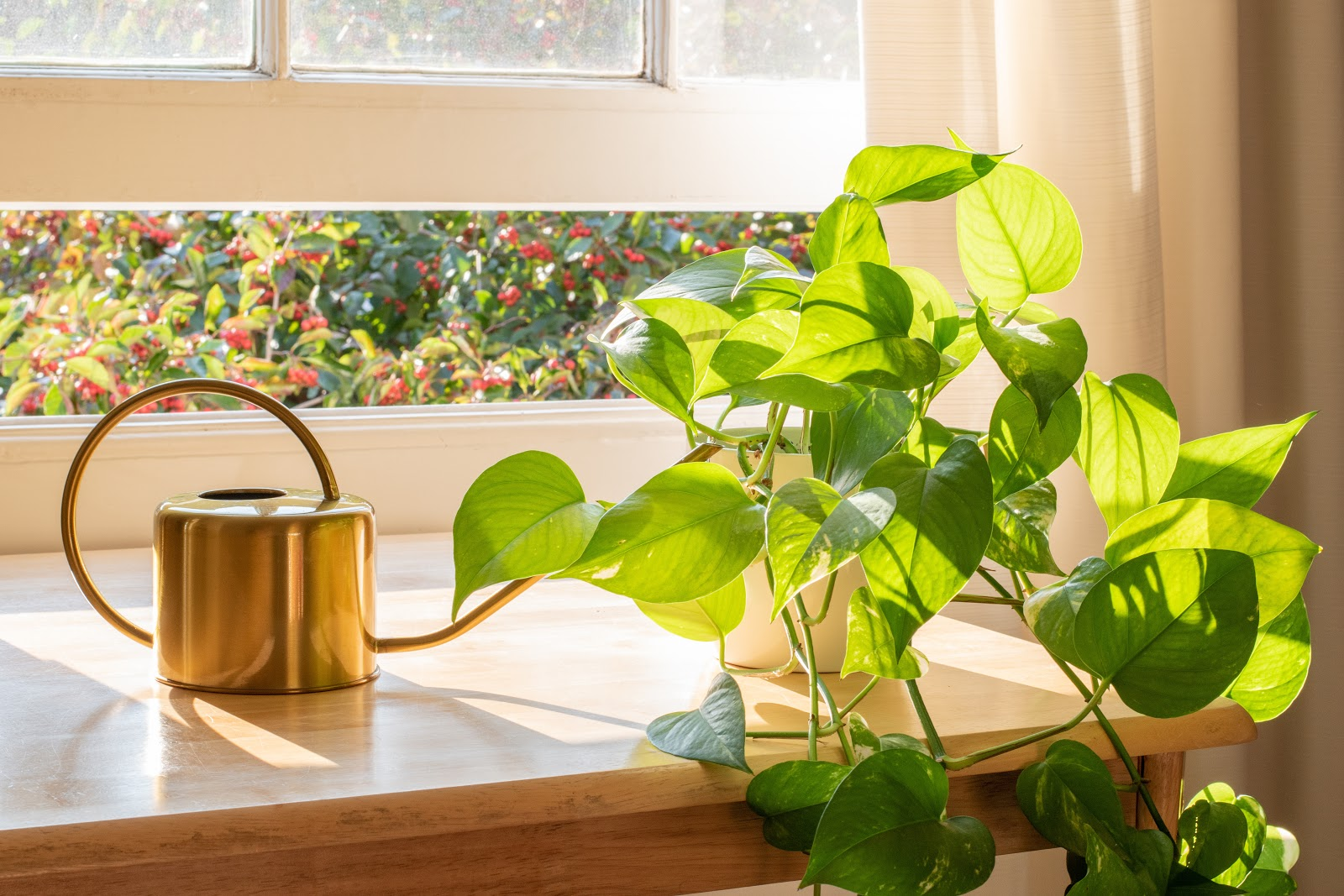 pothos plant care: pothos plant and a watering can on a table