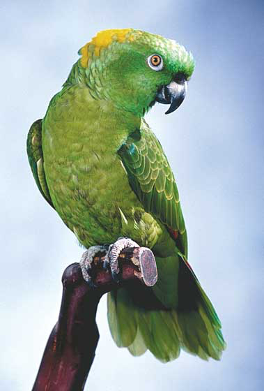 Yellow-naped Amazons (Amazona auropalliata) are successfully bred in captivity and are popular pets because they are entertaining talkers, singers and clowns