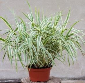 https://www.vitroflora.pl/img/produkty/rosliny/_big/arundo-ely_79539_2.jpg