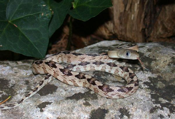 Image result for Trans-Pecos Rat Snakes