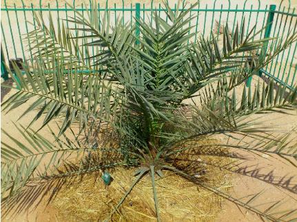 Judean date palm ( Phoenix dactylifera ), Borick Natural Medicine ...