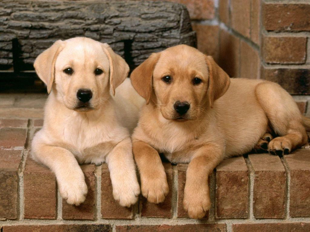 Golden labrador retriever puppies my favorite! | Labrador retriever dog, Labrador  retriever puppies, Lab puppies