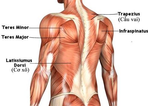 Cơ xô nằm trên phần lưng của cơ thể với cấu tạo phúc tạp
