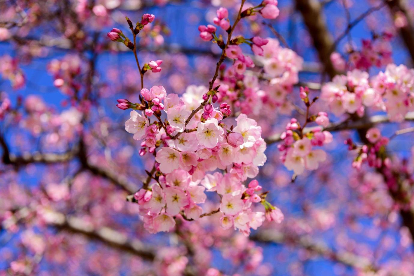 Celebrate Cherry Blossom Festival in Shillong this year | Times of India  Travel