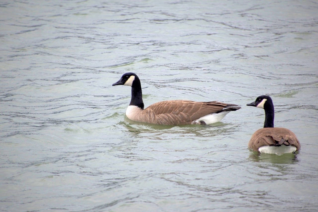 Paired Geese.jpeg