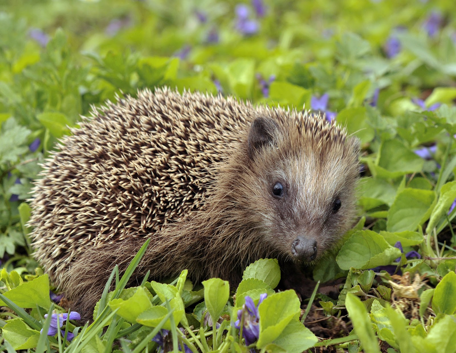 Image result for european hedgehog