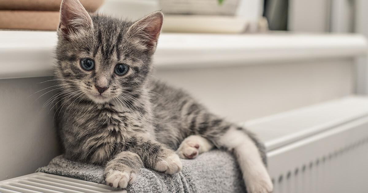 si un chaton ne mange pas, cela peut-être lié au fait qu'il ne connait pas cette nourriture