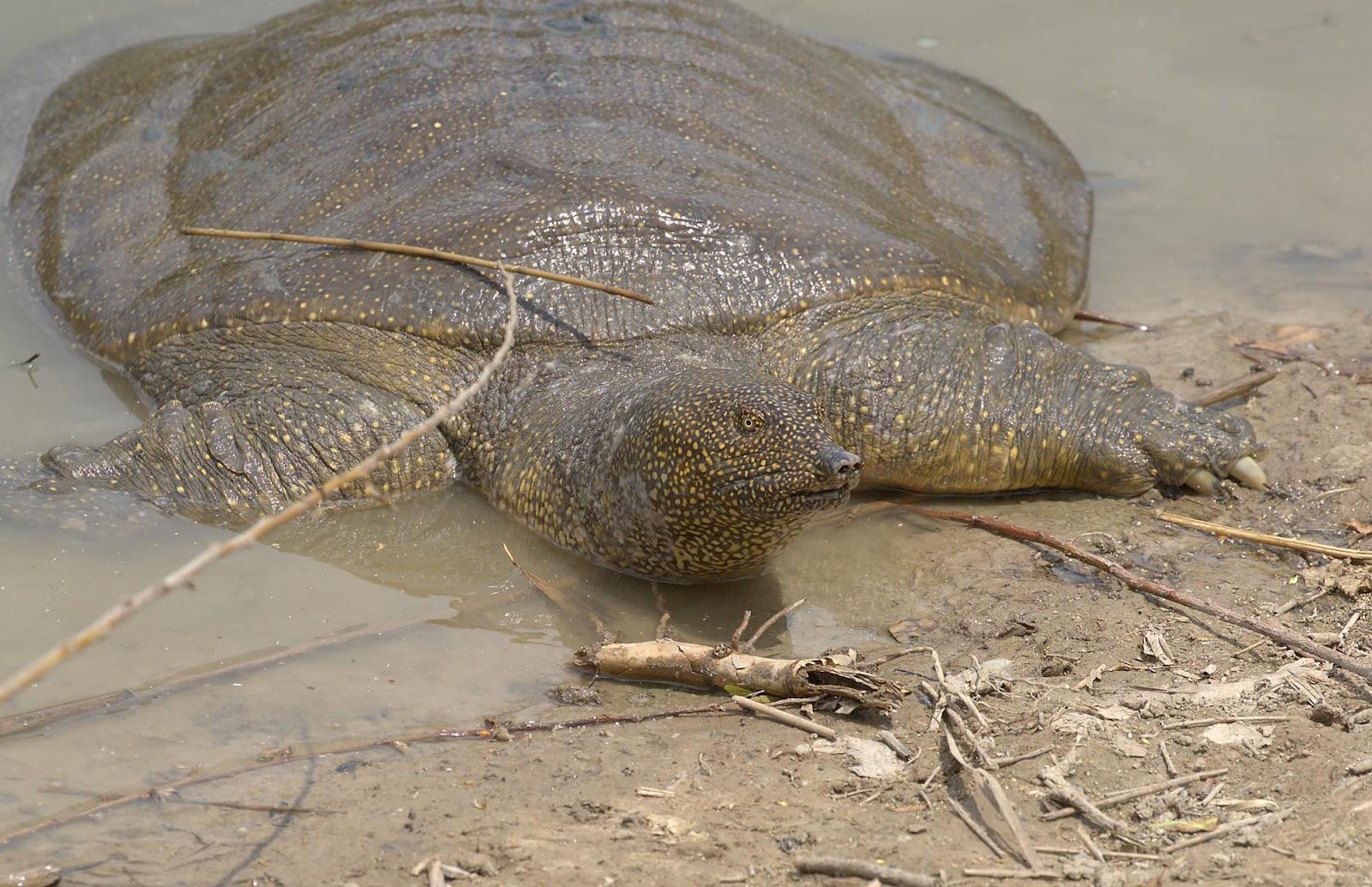 African softshell turtle2_rsz.jpg