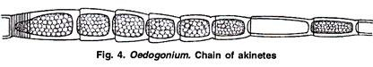 Life Cycle of Oedogonium, structure and Reproduction.