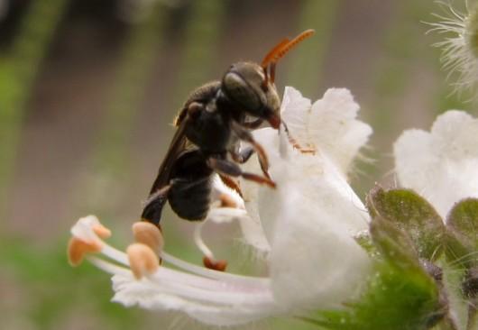 Abelhas sem ferrão - Iraí (Nannotrigona testaceicornes)