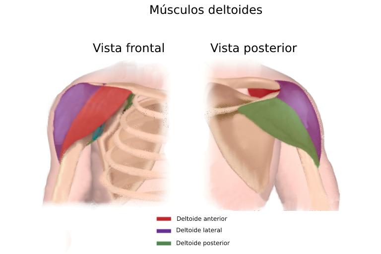 musculos deltoides